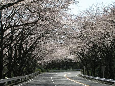 TPKの桜