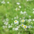 写真: 野に咲く