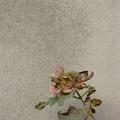 写真: 枯れ紫陽花