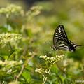 写真: アゲハチョウ