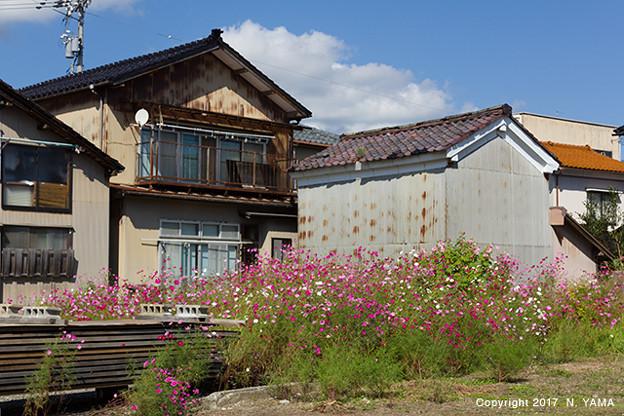 コスモスの咲く風景
