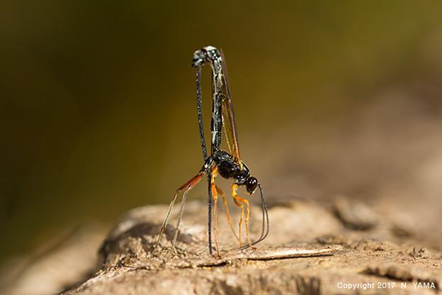 ヒメバチ科の一種