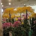 写真: 1.大輪を咲かせた銚子菊花展-A
