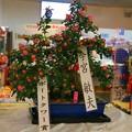 1.見事に咲かせた菊花-A