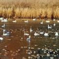 1.白鳥と鴨の集団-A