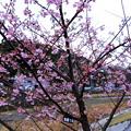 まだまだ蕾の河津桜