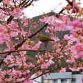 河津桜とメジロかな?
