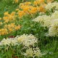 写真: 稲渕棚田の黄白彼岸花