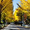 Photos: 天理の銀杏並木5