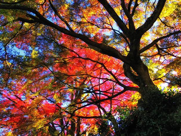 錦模様の紅葉