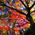 Photos: 錦模様の紅葉