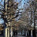 Photos: プラタナスの並木