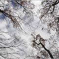 欅並木の空