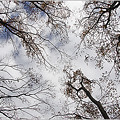 Photos: 欅並木の空