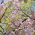 Photos: 稲毛神社の桜3