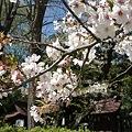 Photos: 稲毛神社の桜9