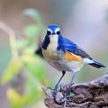 写真: 蒼い小鳥