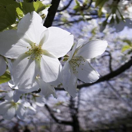 大阪城公園、春の日02