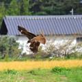 写真: 着地寸前の飛翔!