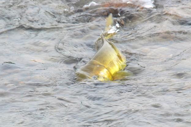 鮭の遡上~