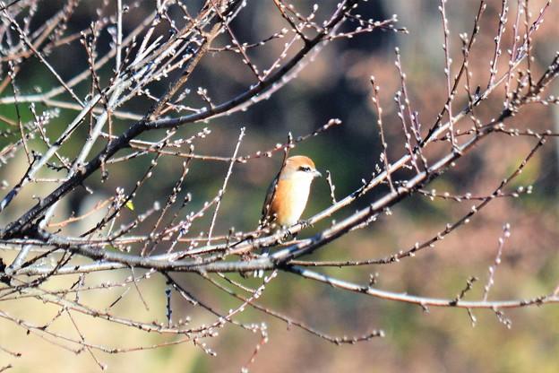 写真: 桃の新芽を~