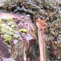 写真: じっと苔を見る小鳥さん!