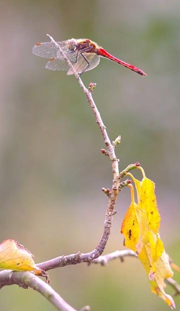 秋の定番・・赤トンボ