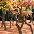 興山園 紅葉 3