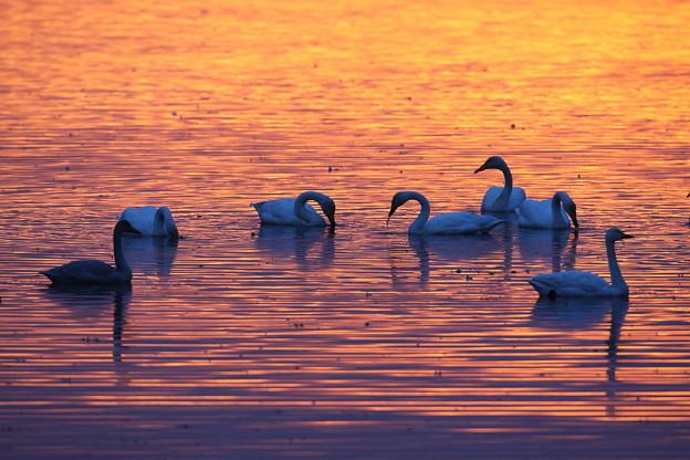 Photos: 朝焼けの白鳥