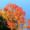 Photos: IMG_8779 紅葉