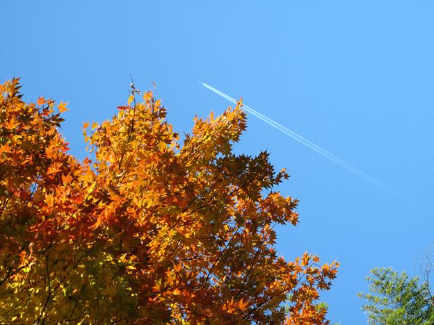 写真: IMG_8785 紅葉と秋空と飛行機雲