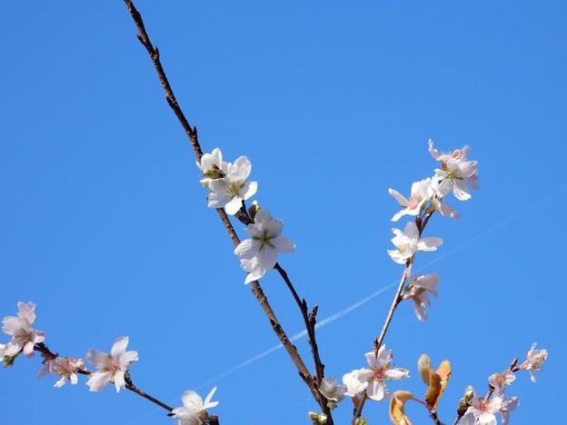 写真: 四季桜 (2)