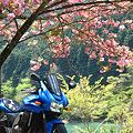 八重桜とZ750S