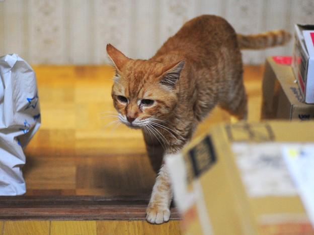写真: 2011年10月31日の茶トラのボクチン(7歳)
