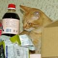 写真: 2008年11月06日の茶トラのボクチン(4歳)