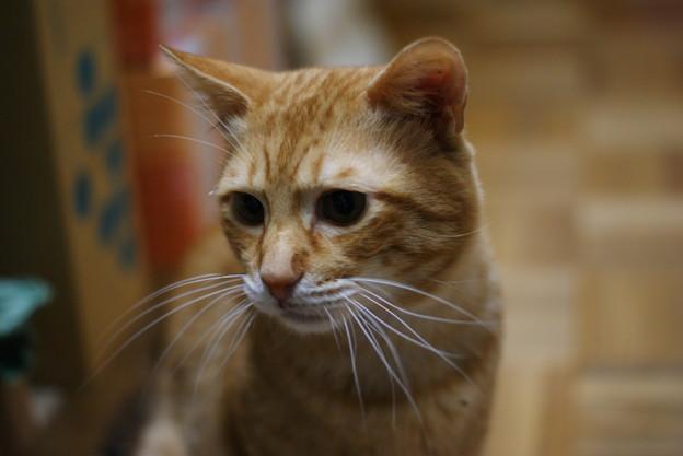 写真: 2009年11月06日の茶トラのボクちん(5歳)
