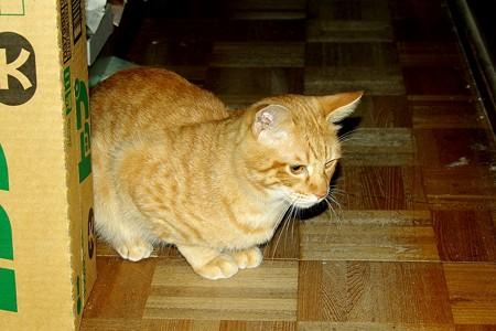 2008年11月22日の茶トラのボクちん(4歳)