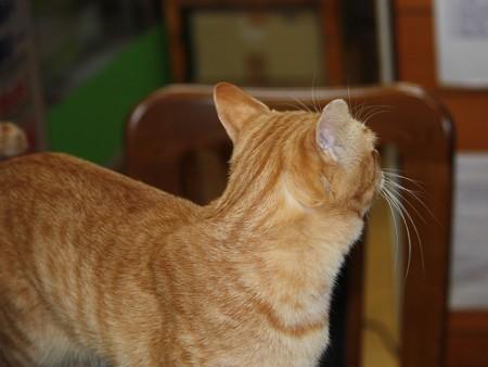 2008年11月25日の茶トラのボクちん(4歳)