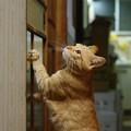 写真: 2008年11月25日の茶トラのボクちん(4歳)