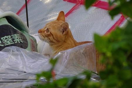 2008年11月26日の茶トラのボクちん(4歳)