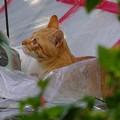 写真: 2008年11月26日の茶トラのボクちん(4歳)