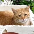 写真: 2008年12月04日の茶トラのボクちん(4歳)