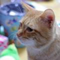 写真: 2009年12月10日の茶トラのボクちん(5歳)