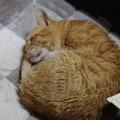 写真: 2011年12月12日の茶トラのボクちん(7歳)