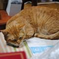 Photos: 2010年12月18日の茶トラのボクちん(6歳)