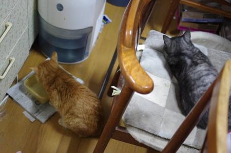 2011年12月22日の茶トラのボクチン(7歳)と一代目クロちゃん(1歳)