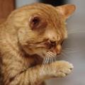 写真: 2010年01月09日の茶トラのボクチン(5歳)