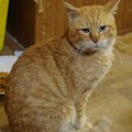 写真: 2012年01月11日の茶トラのボクチン(7歳)