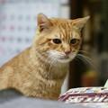 写真: 2011年01月15日の茶トラのボクチン(6歳)