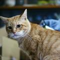 写真: 2011年01月18日の茶トラのボクチン(6歳)